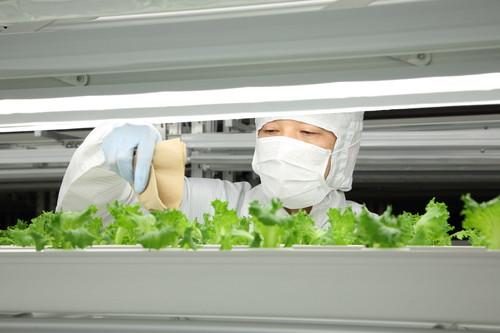 A worker at Fujitsu's Aizu-Wakamatsu semiconductor plant checks a crop of lettuce in a renovated clean room once used to make mobile phone chips.