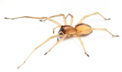 This is a yellow sac spider. It likes to crawl into the fuel tank hose of a Mazda6. Your Mazda6 may have a serious case of arachnophobia. But Mazda has a software fix in the works that will keep those eight-legged fiends from doing damage to your car even if it can't help your fragile emotional psyche.